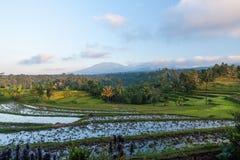 域印度尼西亚Java米 免版税库存照片