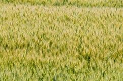 域夏天麦子黄色 库存图片