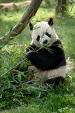 域大熊猫 库存照片