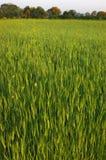 域成熟不小麦 免版税库存照片
