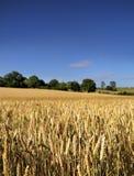 域成熟麦子 免版税库存图片