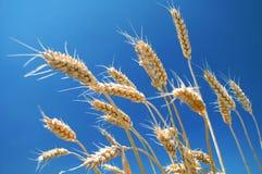 域成熟麦子 库存图片
