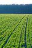 域春小麦 库存照片