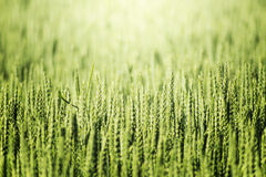 域未成熟的麦子 图库摄影