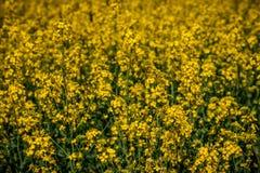 域横向全景油菜籽夏天黄色 免版税库存照片