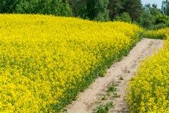 域横向全景油菜籽夏天黄色 风景 使用地方路 免版税库存照片