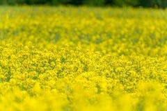 域横向全景油菜籽夏天黄色 风景 浅深度的域 免版税库存照片