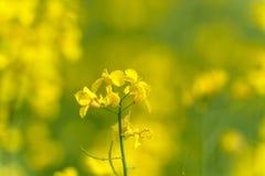 域横向全景油菜籽夏天黄色 风景 浅深度的域 免版税库存图片