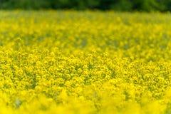 域横向全景油菜籽夏天黄色 风景 浅深度的域 免版税图库摄影