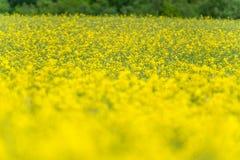 域横向全景油菜籽夏天黄色 风景 浅深度的域 库存照片