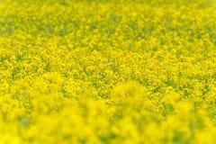 域横向全景油菜籽夏天黄色 风景 浅深度的域 库存图片