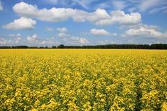 域横向全景油菜籽夏天黄色 免版税库存图片