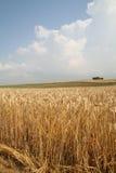 域横向麦子 库存照片