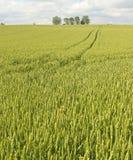 域横向麦子 免版税图库摄影