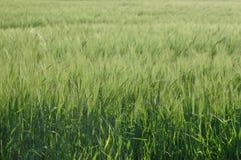 域横向麦子 库存图片