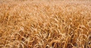 域水平的麦子 免版税图库摄影