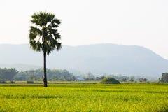 域水稻 免版税库存照片