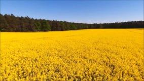 域油菜子黄色 影视素材