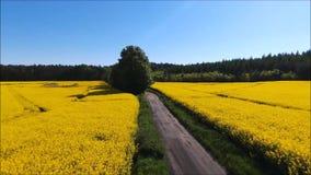 域油菜子黄色 股票视频