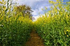 域油菜籽黄色 库存图片