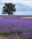 域淡紫色 免版税库存图片