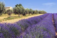 域淡紫色olivers普罗旺斯 库存照片
