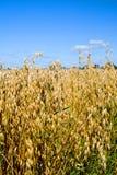 域燕麦 库存图片