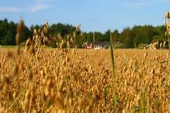 域燕麦 免版税库存图片