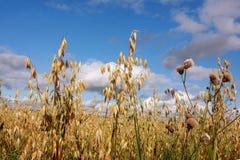 域燕麦 免版税库存照片