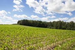 域用玉米 库存照片
