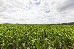 域用玉米 库存图片