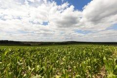 域用玉米 图库摄影