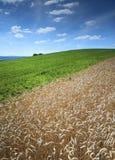 域用被砍成的玉米和云彩 库存照片
