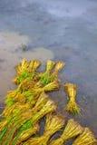 域稻准备新芽移植 库存照片