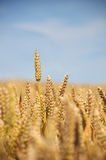 域纵向麦子 免版税库存照片