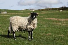 域绵羊 免版税库存照片
