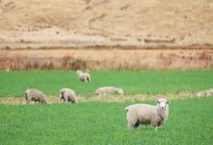 域绵羊 库存图片
