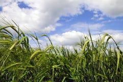 域绿色横向麦子 库存照片