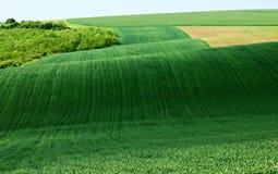 域绿色横向麦子 免版税库存图片