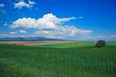 域绿色油油菜籽 库存图片