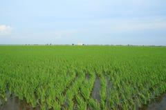 域绿色稻风景 免版税库存照片