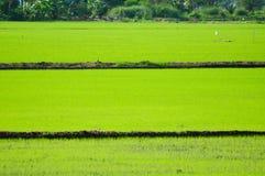 域绿色米泰国 库存照片