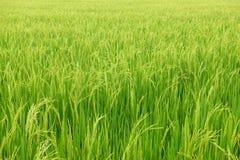 域绿色米 免版税图库摄影