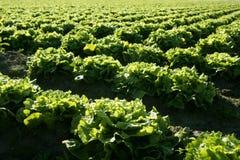 域绿色莴苣透视图种植西班牙 免版税图库摄影