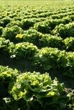 域绿色莴苣透视图种植西班牙 库存照片