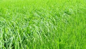 域绿色豪华的稻 库存图片