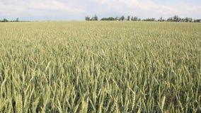 域绿色麦子 股票录像