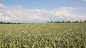 域绿色麦子 影视素材
