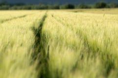 域绿色麦子 库存照片