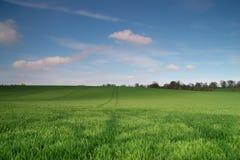 域绿色麦子 免版税库存图片